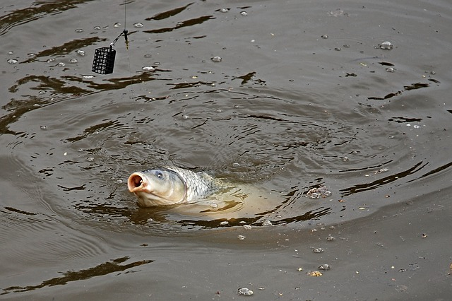 chycení ryby